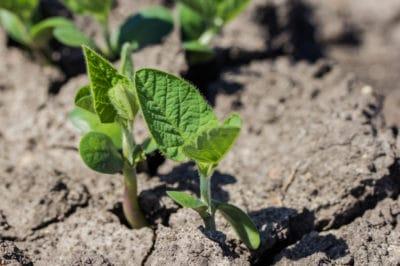deep-plant-soybeans