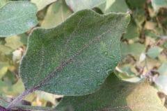 eggplant-leaves