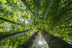 fast-bamboo-grow