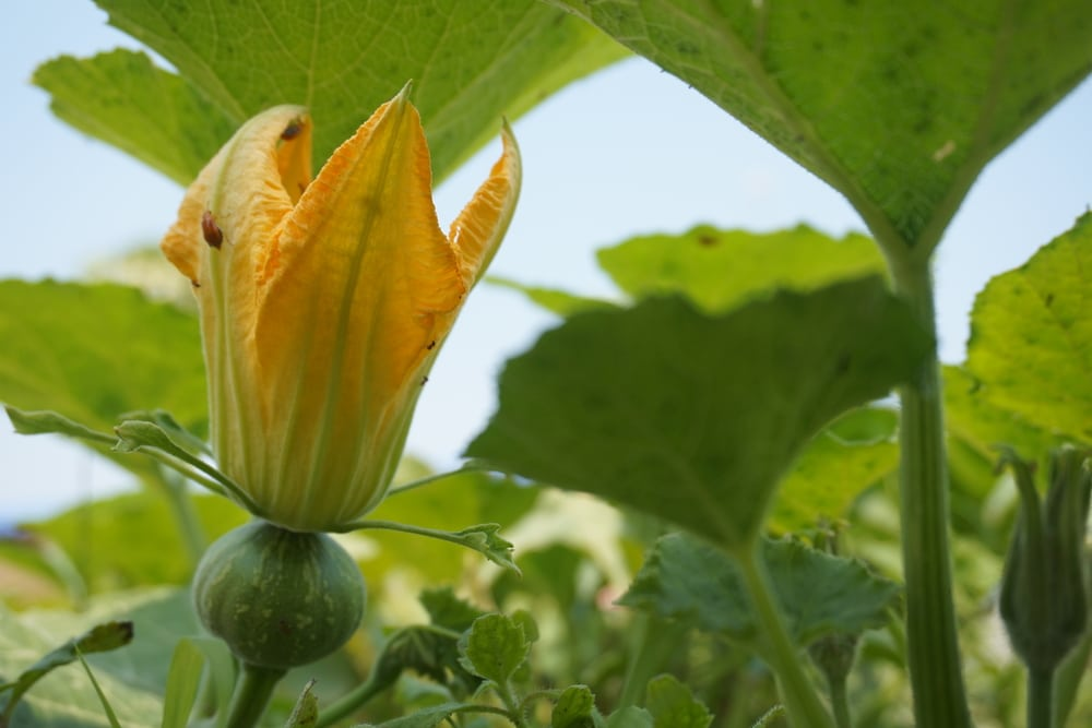 Female Pumpkin Flower  U00bb Tips On Identification