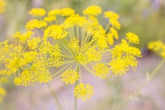 fennel-flower