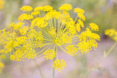 fennel-flower