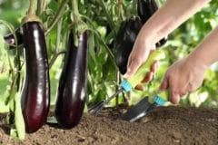 fertilizing-eggplant