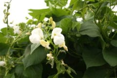 green-bean-flowers