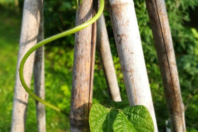 green-bean-teepee