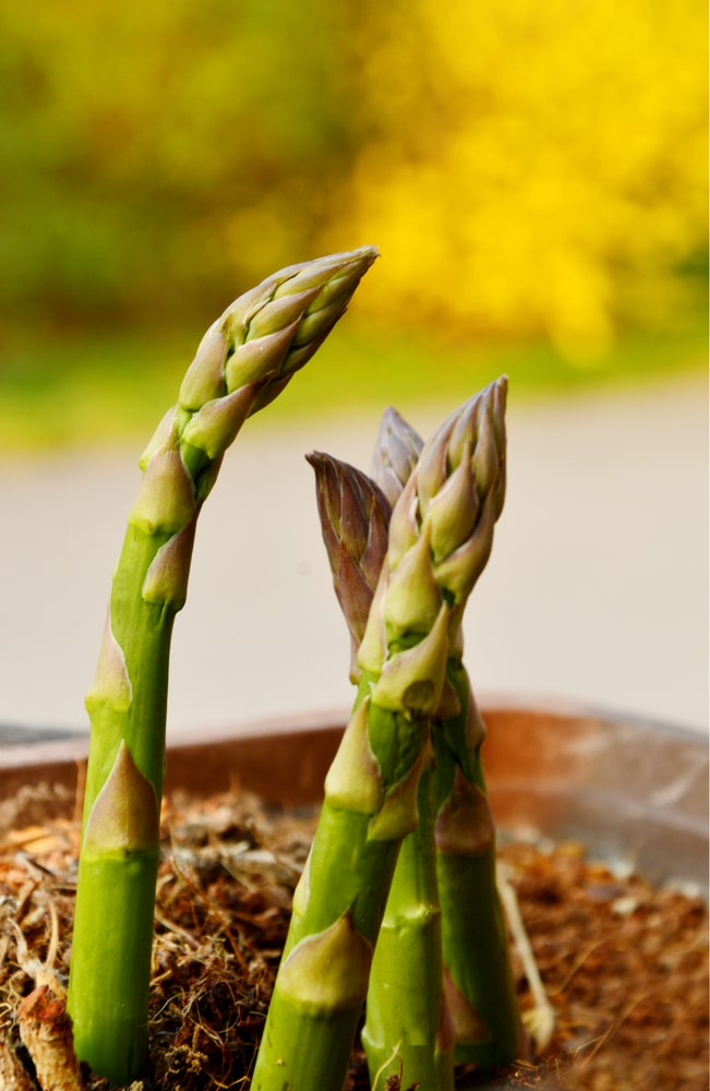 Growing Asparagus In Containers