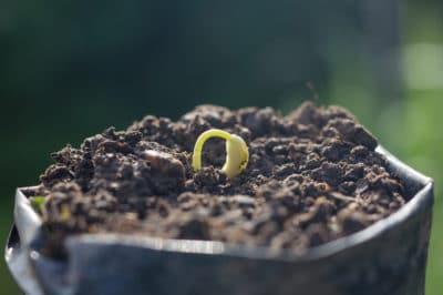 growing-beans-bag