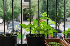 growing-beans-containers