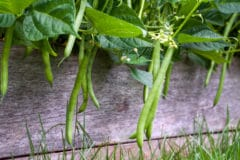growing-bush-green-beans