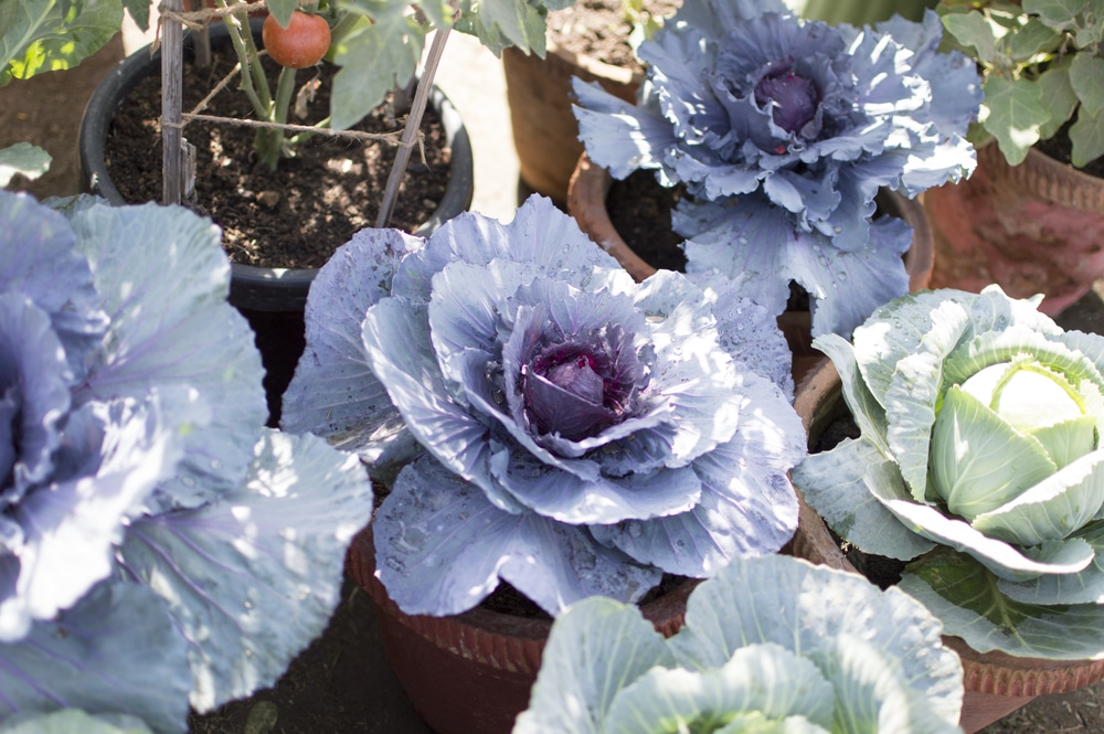 Growing Cabbage Contained In Containers Garden Eco