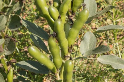 growing-fava-beans