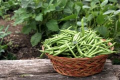 growing-green-beans