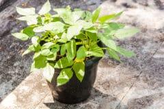 growing-green-beans-pot