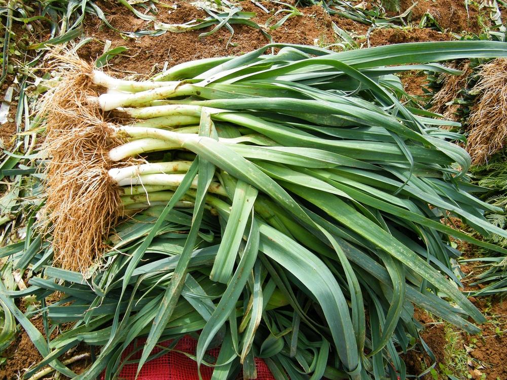 Growing Leeks » Top Tips for the Best Crop Ever Leek Companion Plants
