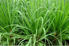growing-lemon-grass