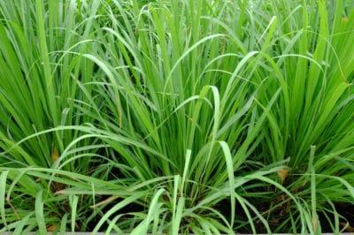 growing-lemon-grass