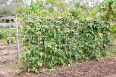growing-lentils