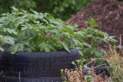 growing-potatoes-in-tires