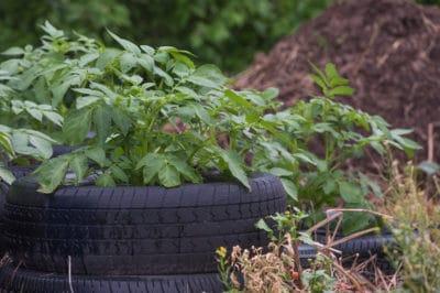 growing-potatoes-in-tires