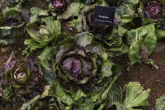 growing-radicchio