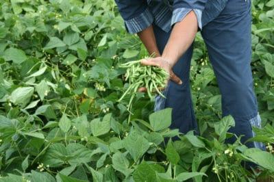 harvest-green-beans