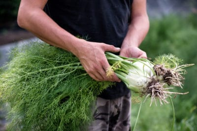 harvesting-fennel