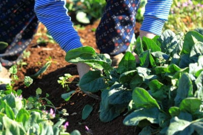 harvesting-spinach