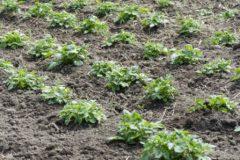 how-far-apart-to-plant-potatoes