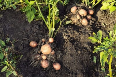 how-long-does-it-take-to-grow-a-potato
