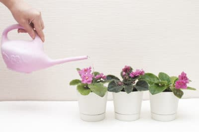 how-often-to-water-african-violets