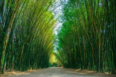 how-tall-can-bamboo-grow