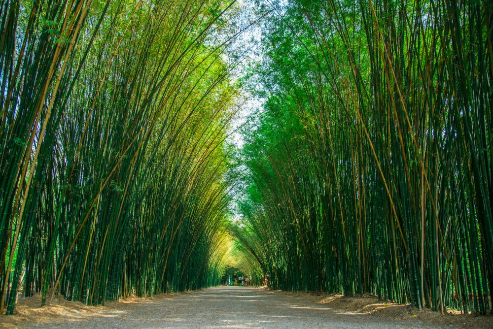 How Tall Can Bamboo Grow Depends On Type