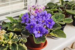 how-to-get-african-violets-to-bloom