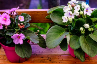 how-to-grow-african-violets
