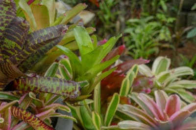how-to-grow-bromeliads