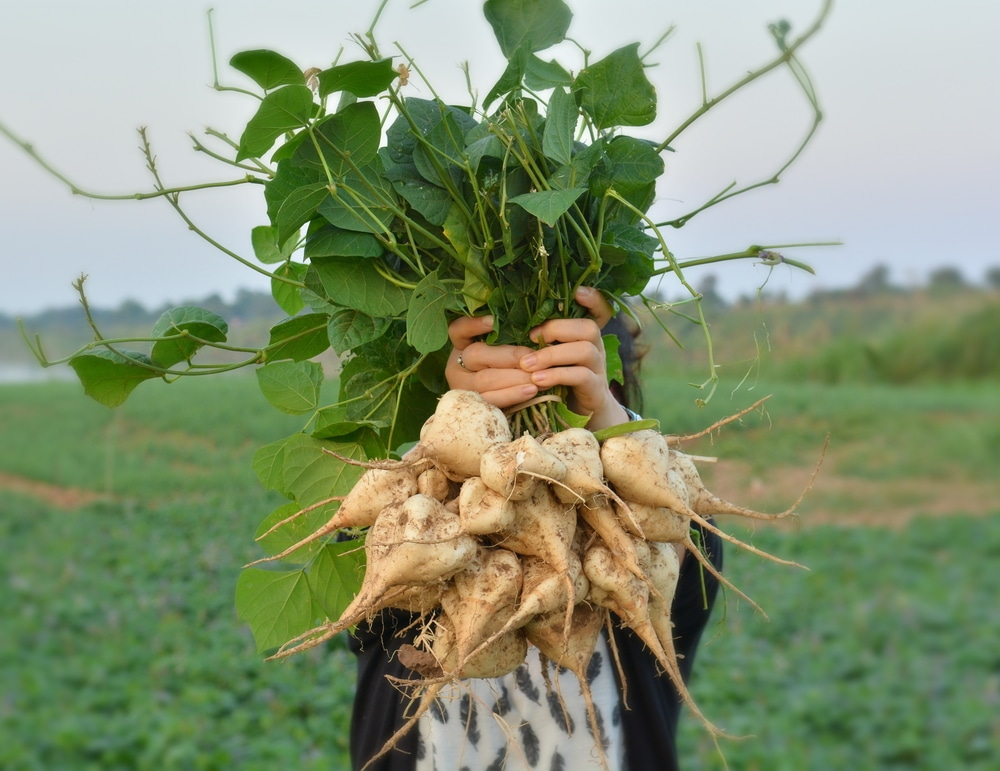 How To Grow Jicama
