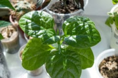 how-to-grow-spinach-indoors