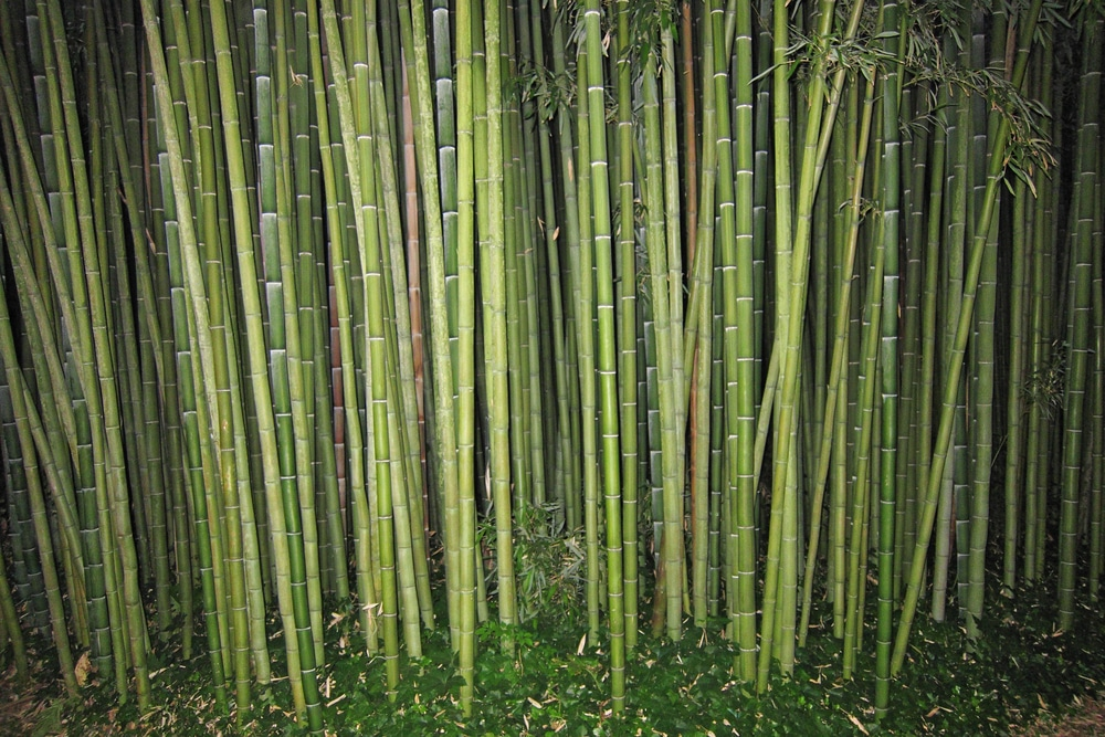 How To Kill Bamboo Everything You Need To Know