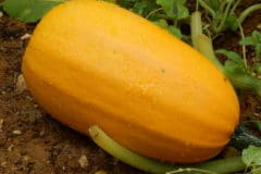 how-to-pick-spaghetti-squash