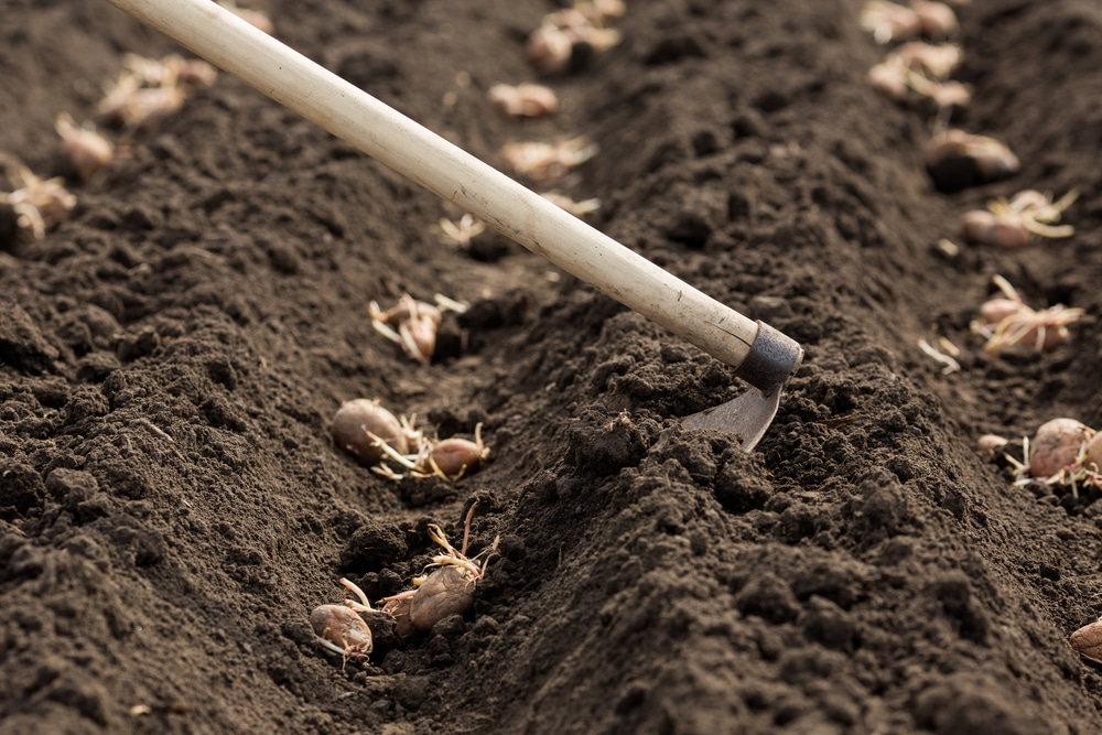 How To Plant Seed Potatoes Top Tips For Success