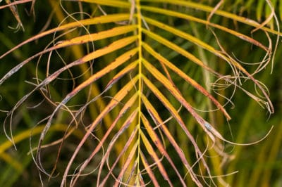 how-to-trim-areca-palm