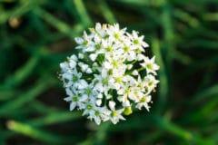 leek-flower
