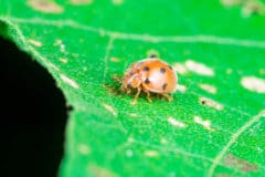mexican-bean-beetle