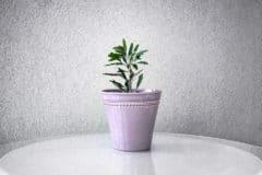 ming-aralia-bonsai