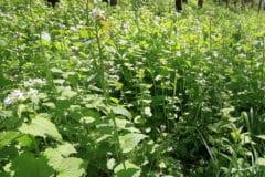 mustard-weed