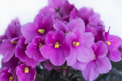 often-african-violets-bloom