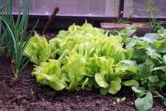 onion-companion-plants