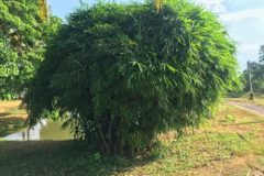 outdoor-bamboo-plants