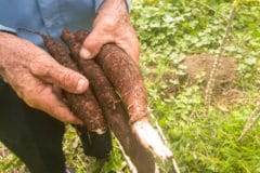 planting-cassava-cuttings