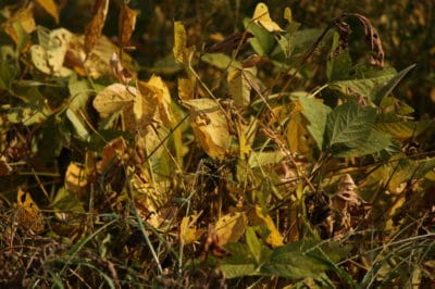 soybean-rust